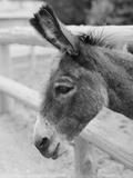 Head of a Donkey Fotografie-Druck von Philip Gendreau