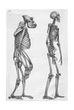 Illustration Depicting Skeleton Comparison of a Human and Gorilla Lámina giclée