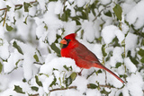 Northern Cardinal in American Holly in Winter, Marion, Illinois, Usa Fotografie-Druck von Richard ans Susan Day