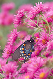 Pipevine Swallowtail on New England Aster, Marion, Illinois, Usa Reproduction photographique par Richard ans Susan Day