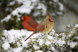 Northern Cardinal and on Keteleeri Juniper, Marion, Illinois, Usa Reproduction photographique par Richard ans Susan Day