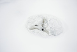 Arctic Fox Curled Up, Churchill Wildlife Area, Manitoba, Canada Reproduction photographique par Richard ans Susan Day