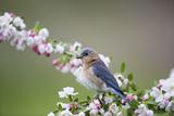 Eastern Bluebird Female in Crabapple Tree, Marion, Illinois, Usa Lámina fotográfica por Richard ans Susan Day