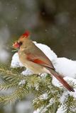 Northern Cardinal in Spruce Tree in Winter, Marion, Illinois, Usa Fotografisk trykk av Richard ans Susan Day