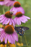 Pipevine Swallowtail on Purple Coneflower, Marion, Illinois, Usa Reproduction photographique par Richard ans Susan Day