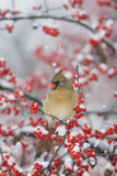 Northern Cardinal in Common Winterberry, Marion, Illinois, Usa Reproduction photographique par Richard ans Susan Day