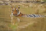 Royal Bengal Tiger at the Waterhole, Tadoba Andheri Tiger Reserve Photographic Print by Jagdeep Rajput