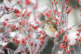 American Tree Sparrow on Common Winterberry, Marion, Illinois, Usa Fotografie-Druck von Richard ans Susan Day