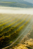 USA, Washington, Pasco. Fog and Harvest in a Washington Vineyard Reproduction photographique par Richard Duval
