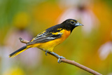 Baltimore Oriole Male in Flower Garden, Marion, Illinois, Usa Reproduction photographique par Richard ans Susan Day