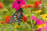 Pipevine Swallowtail on Red Spread Lantana, Marion, Illinois, Usa Reproduction photographique par Richard ans Susan Day