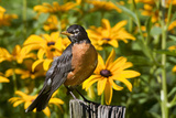 American Robin on Fence Post in Garden, Marion, Illinois, Usa Reproduction photographique par Richard ans Susan Day