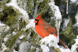 Northern Cardinal on Serbian Spruce in Winter, Marion, Illinois, Usa Reproduction photographique par Richard ans Susan Day