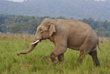 Indian Asian Elephant, Male, in the Savannah, Corbett NP, India Photographic Print by Jagdeep Rajput