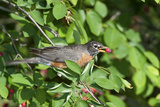 American Robin in Serviceberry Bush Eating, Marion, Illinois, Usa Reproduction photographique par Richard ans Susan Day