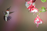 Ruby-Throated Hummingbird Male at Fuschia, Marion, Illinois, Usa Reproduction photographique par Richard ans Susan Day
