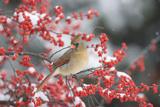 Northern Cardinal in Common Winterberry, Marion, Illinois, Usa Fotografisk trykk av Richard ans Susan Day