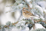 American Tree Sparrow on Blue Atlas Cedar, Marion, Illinois, Usa Reproduction photographique par Richard ans Susan Day