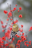 American Goldfinch in Common Winterberry, Marion, Illinois, Usa Reproduction photographique par Richard ans Susan Day