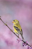 American Goldfinch in Eastern Redbud Tree. Marion, Illinois, Usa Reproduction photographique par Richard ans Susan Day