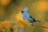Indigo Bunting on Barbed Wire Fence in Garden, Marion, Illinois, Usa Reproduction photographique par Richard ans Susan Day