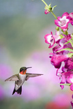 Ruby-Throated Hummingbird at a Penstemon. Marion, Illinois, Usa Reproduction photographique par Richard ans Susan Day