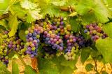 USA, Washington, Okanogan Valley. Pinot Grapes Ripen During Veraison Fotoprint van Richard Duval