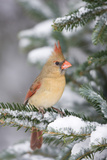 Northern Cardinal in Balsam Fir Tree in Winter, Marion, Illinois, Usa Fotografisk trykk av Richard ans Susan Day