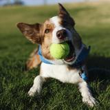 Dog Playing with its Ball, Phoenix, Arizona, Usa Photographic Print by Julien McRoberts