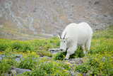 Mountain Goat Feeding , Glacier NP, UNESCO Near Kalispell, Montana Impressão fotográfica por Howie Garber