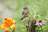 Eastern Bluebird Male on Fence Post, Marion, Illinois, Usa Kunst op gespannen canvas van Richard ans Susan Day