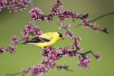 American Goldfinch Male in Eastern Redbud Tree Marion, Illinois, Usa Fotografisk trykk av Richard ans Susan Day