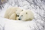 Polar Bears, Female and Cub, Churchill Wildlife Management Area, Mb Fotografisk trykk av Richard ans Susan Day