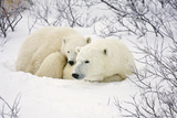 Polar Bears, Female and Cub, Churchill Wildlife Management Area, Mb Photographic Print by Richard ans Susan Day