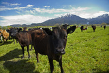 Cows and Mt Somers, Mid Canterbury, South Island, New Zealand Reproduction photographique par David Wall
