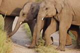Young Indian Asian Elephants, Corbett National Park, India Photographic Print by Jagdeep Rajput