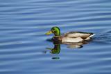 USA, Wa, Jaunita Bay Wetlands, Mallard Duck, Male Fotografie-Druck von Jamie & Judy Wild
