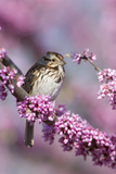 Song Sparrow in Redbud Tree, Marion, Illinois, Usa Reproduction photographique par Richard ans Susan Day