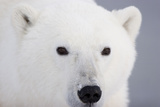 Polar Bear, Churchill, Mb Fotografisk trykk av Richard ans Susan Day