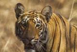 Royal Bengal Tiger, a Close Up, Tadoba Andheri Tiger Reserve, India Photographic Print by Jagdeep Rajput