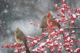Northern Cardinals in Common Winterberry, Marion, Illinois, Usa Premium fotografisk trykk av Richard ans Susan Day