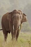 Indian Asian Elephant Feeding, Corbett National Park, India Photographic Print by Jagdeep Rajput