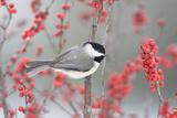 Carolina Chickadee in Common Winterberry Marion, Illinois, Usa Premium fotografisk trykk av Richard ans Susan Day