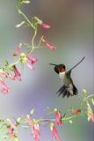 Ruby-Throated Hummingbird at Prairie Fire Penstemon, Illinois, Usa Reproduction photographique par Richard ans Susan Day