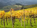Italy, Tuscany. Vineyard in Autumn in the Chianti Region of Tuscany Lámina fotográfica por Julie Eggers