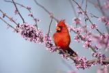 Northern Cardinal Male in Eastern Redbud, Marion, Illinois, Usa Fotografisk trykk av Richard ans Susan Day