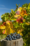 USA, Washington. Merlot Grapes in Eastern Washington Vineyard Lámina fotográfica por Richard Duval