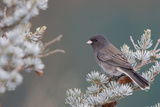 Dark-Eyed Junco in Spruce Tree in Winter Marion, Illinois, Usa Reproduction photographique par Richard ans Susan Day