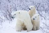 Polar Bears, Female and Two Cubs, Churchill Wildlife Area, Mb Fotografisk trykk av Richard ans Susan Day