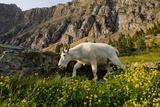 Mountain Goat, Hidden Lake Trail, Glacier NP, Kalispell, Montana Impressão fotográfica por Howie Garber